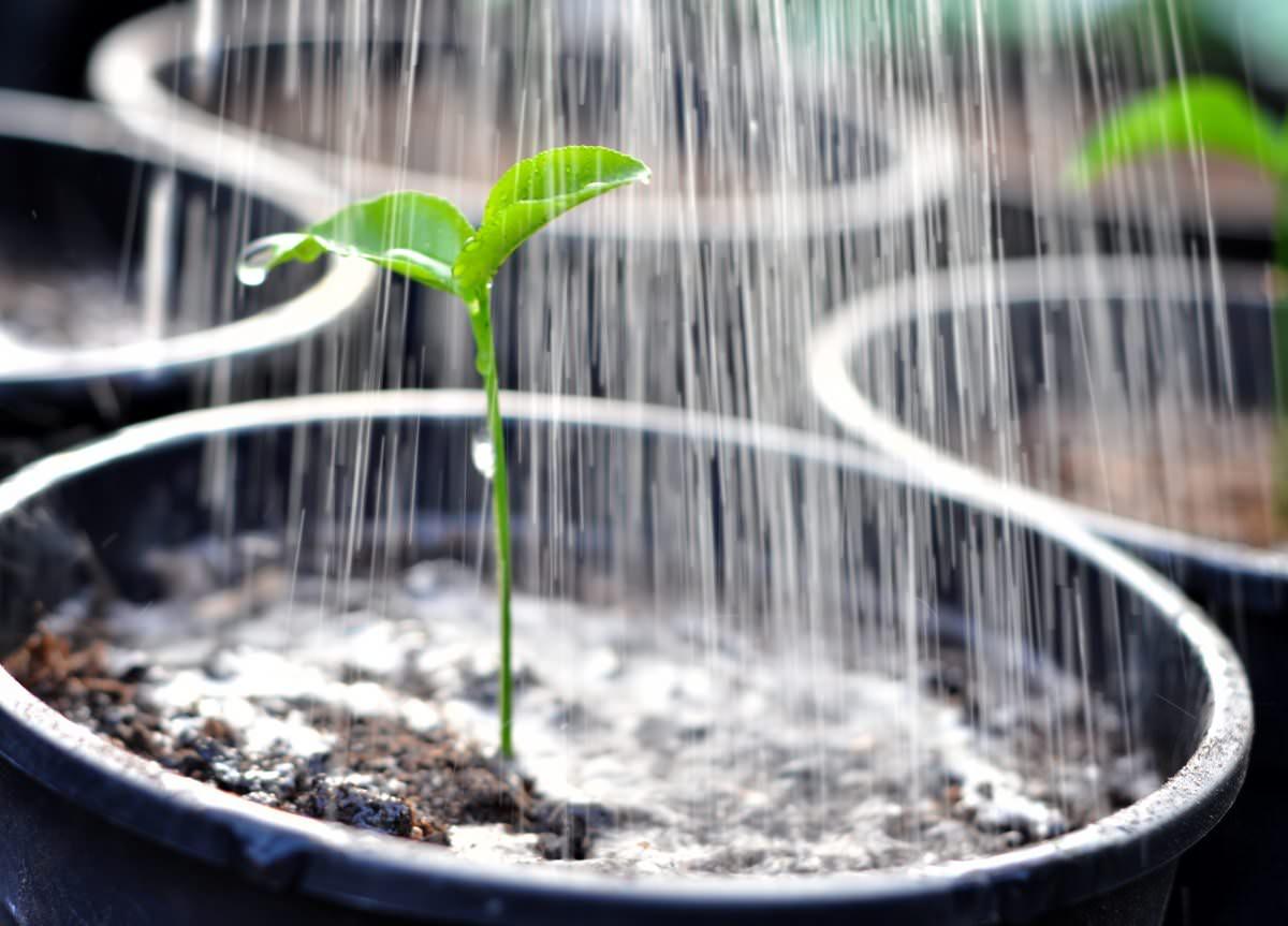 Чтобы замедлить рост переросшей рассады, следует сократить полив, но не допускать пересыхания почвы