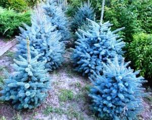 Как размножить хвойное дерево