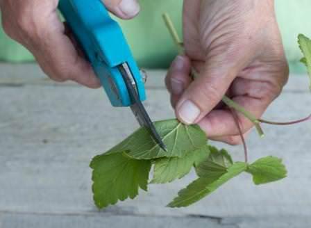 Для зеленого черенкования применяют молодые побеги текущего года
