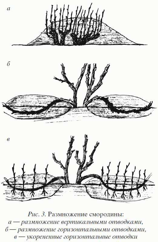 Размножение смородины отводками (рис. 1)