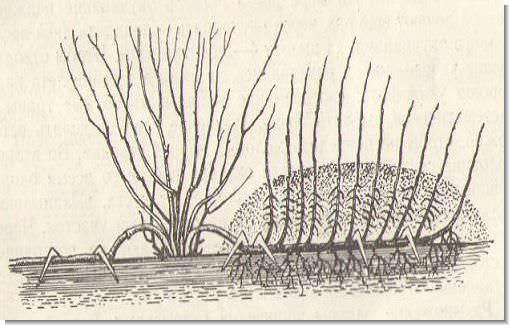 Размножение смородины отводками — наиболее простой и часто применяемый среди садоводов-любителей метод