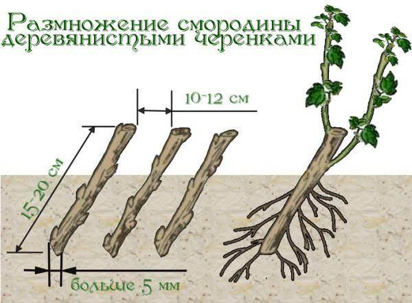 Для одревесневших черенков заготавливают прошлогодние побеги (1-летние) из прикорневого прироста либо с 2-3 летних веток