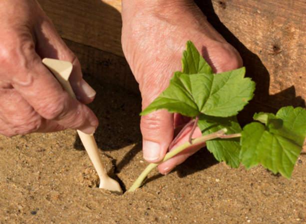 Сроки нарезки зеленых черенков варьируются в зависимости от региона с июня по август