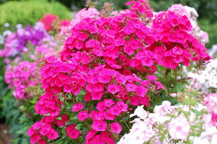 Поздноцветущие сорта флоксов нуждаются в подкормках в начале августа