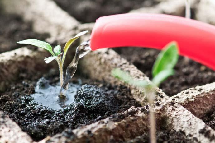 Поливы рассады томатов осуществляются теплой водой