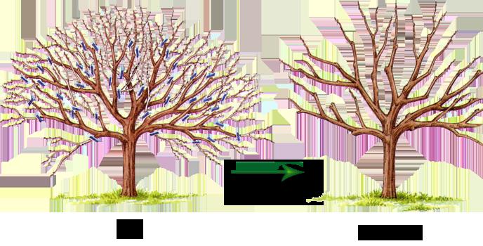 Ранней осенью, с последних чисел августа и до середины сентября, требуется удалять все засохшие, поломанные и с признаками болезни ветви с их последующим уничтожением