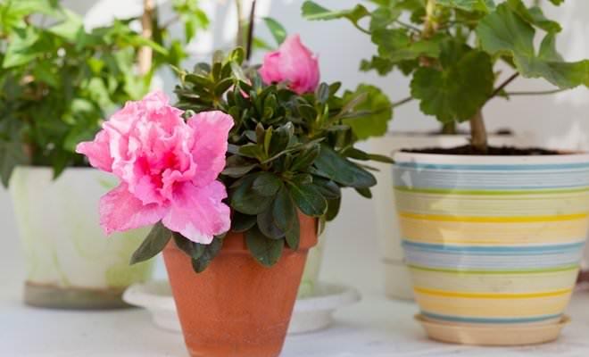 Чаще всего цветение азалии приходится на период с ноября по апрель и продолжается примерно полтора месяца