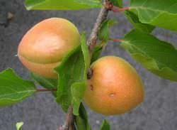 Абрикос является очень популярным в южных регионах плодовым деревом