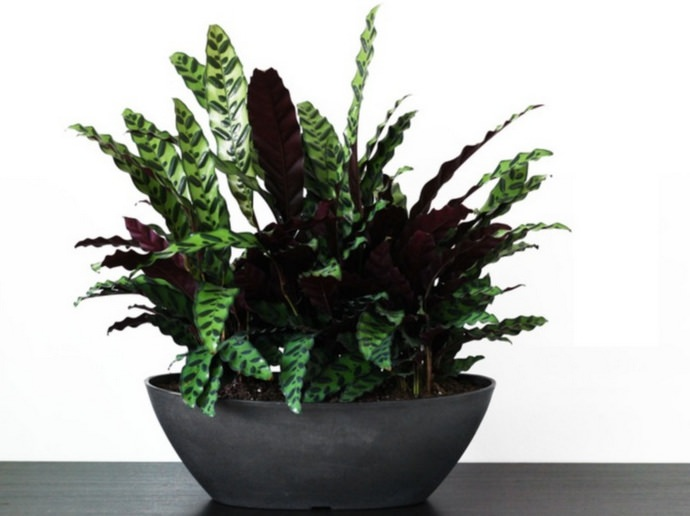 Калатея – многолетнее корневищное тропическое растение