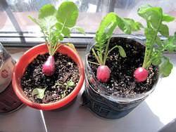 Редис является однолетним или двулетним растением