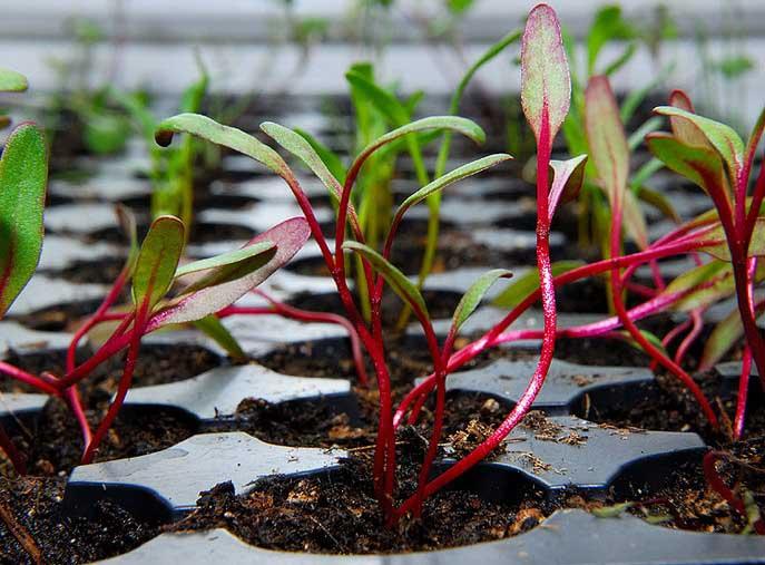 Посадка свеклы на рассаду дает возможность получения более раннего урожая овощной продукции