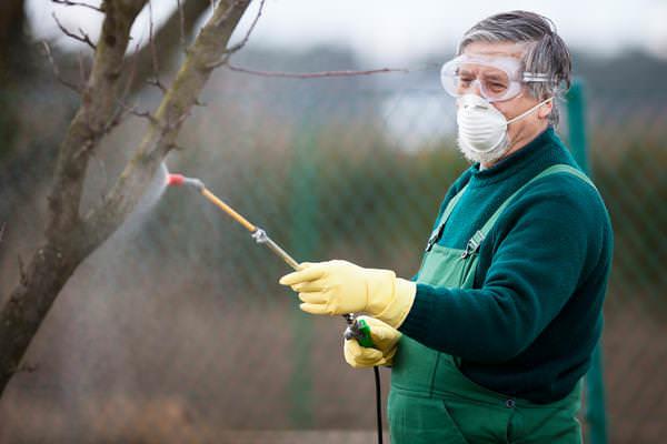 Для лечения среднеустойчивых сортов яблонь выполняется ежегодное однократное опрыскивание