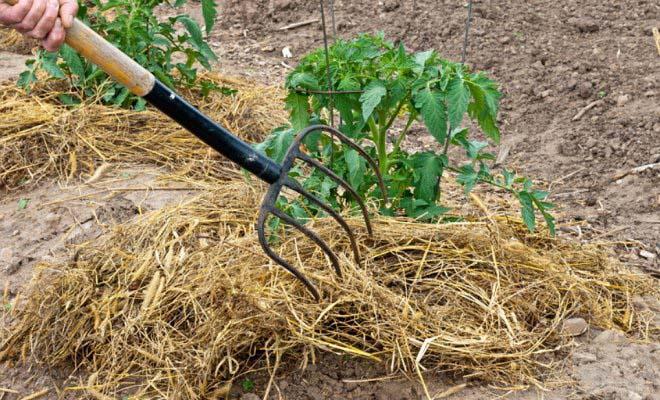 Мульчирование тепличных томатов стало практиковаться в нашей стране относительно недавно