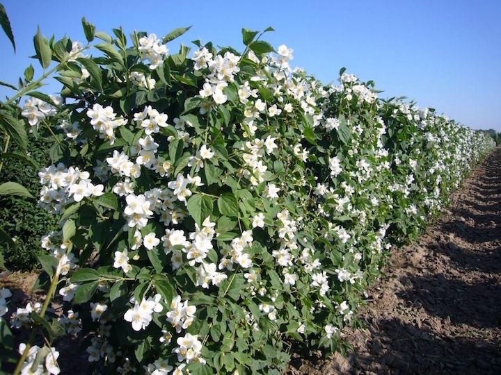 Русское наименование рода – чубушник – произошло от того, что полые побеги этого растения использовали для изготовления чубуков курительных трубок