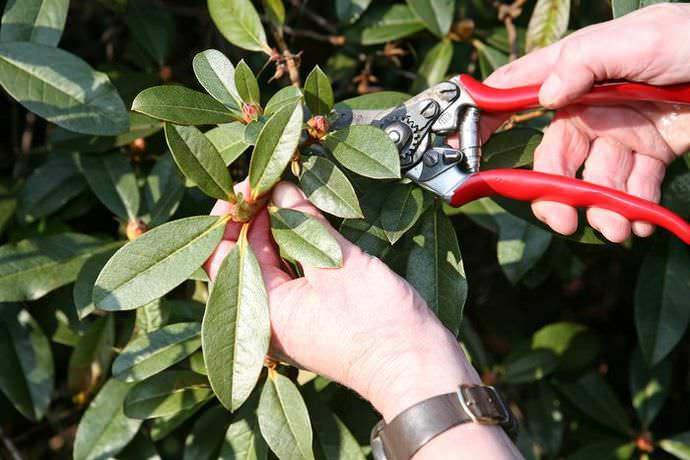 Рододендрон нуждается в минимальной весенней обрезке, что обусловлено способностью растения самостоятельно формировать достаточно правильную и привлекательную форму