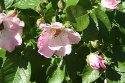 Морщинистая роза (шиповник)