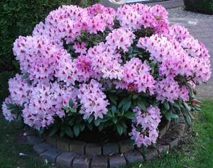 Рододендрон - розовое дерево