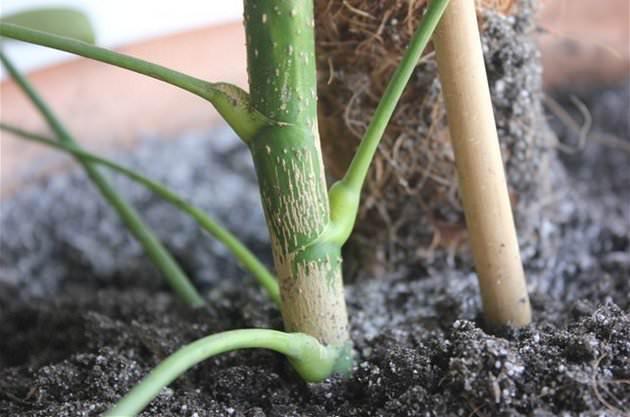 Рассадить или пересадить уже полностью сформировавшееся, взрослое комнатное растение можно один раз в три-четыре года