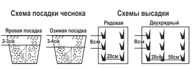 Зубки чеснока требуется сажать рядовым способом