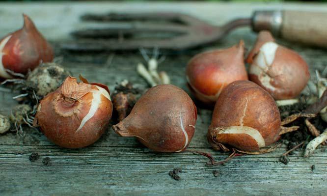 При выкапывании луковиц тюльпанов из почвы следует соблюдать осторожность и минимизировать риск нанесения посадочному материалу повреждений