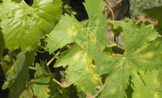 Ложная мучнистая роса винограда характеризуется тем, что поражаются все зеленые части растения