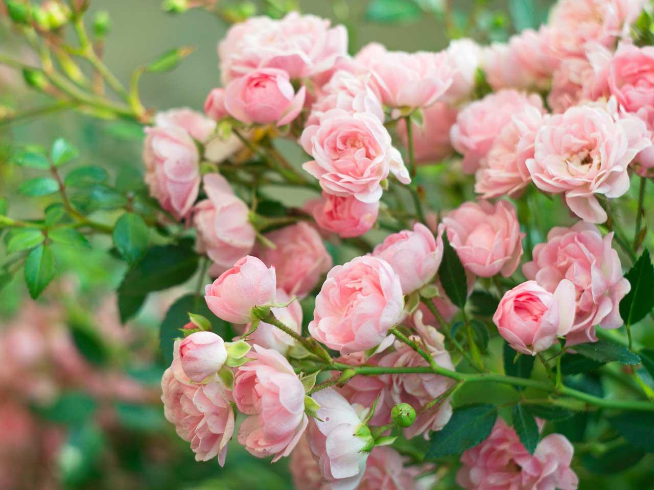 Садовые розы – настоящее украшение цветников и розариев