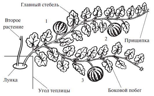 Особое значение при выращивании следует уделять формированию тыквенных кустов в условиях приусадебного овощеводства
