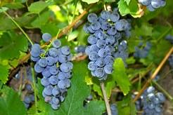 Виноград представляет собой древесную лиану