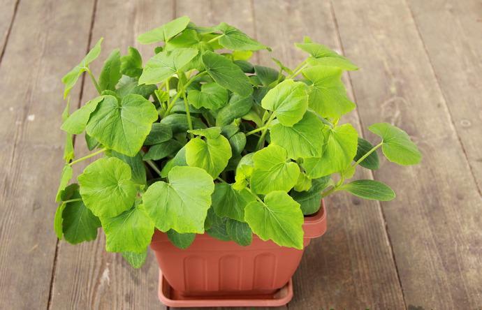Большинство опытных овощеводов предпочитает культивировать тыкву рассадным способом