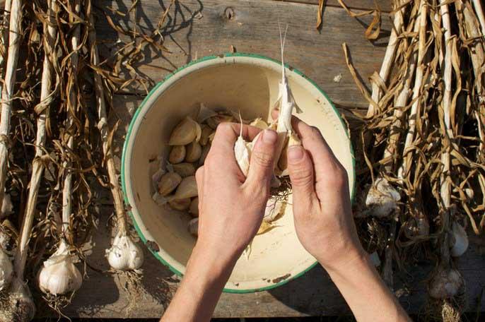Чтобы получить обильный урожай, важно осуществить правильный отбор семенного материала