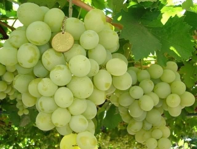 Сорт винограда «Валентина» характеризуется очень крупными и красивыми ягодами