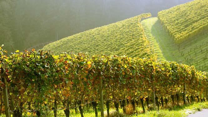 Виноград хорошо чувствует себя на любой почве