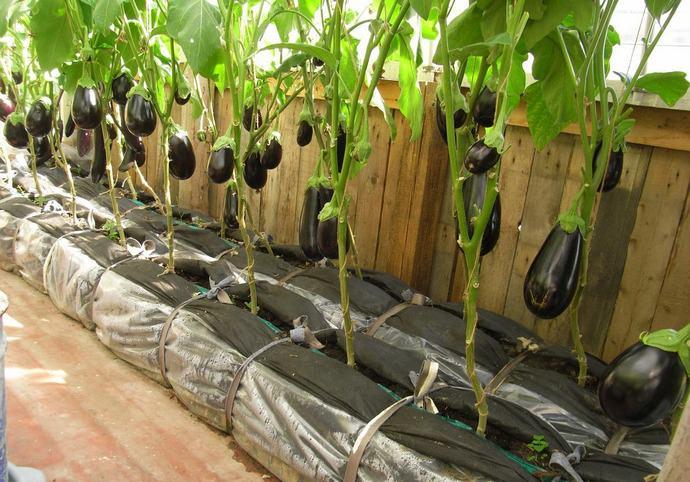 Особенностью выращивания тепличных баклажан является постоянное нахождение культуры в условиях повышенного температурного режима и влажности