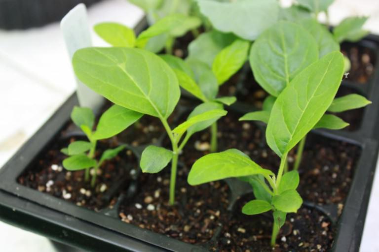Перекормленные питательными компонентами рассадные растения вырастают очень изнеженными и при высаживании могут продолжительное время болеть