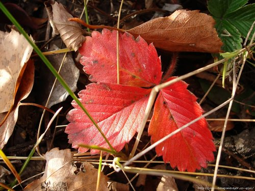 Клубника нуждается в качественном уходе не только в период активной вегетации, но и поздней осенью