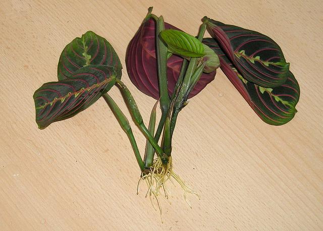 Размножение маранты трёхцветной в домашних условиях производится вегетативными способами