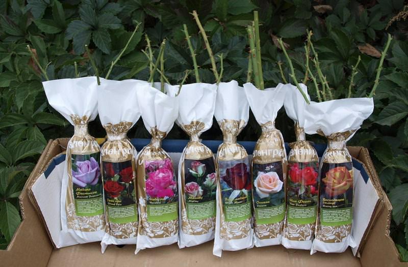 Приобретать саженцы розы желательно в специализированных магазинах