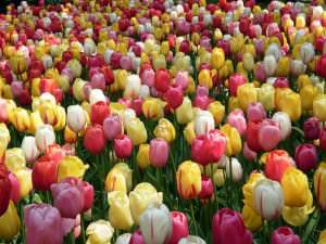 Королевство тюльпанов