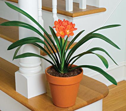 Кливия относится к роду многолетних и вечнозелёных травянистых растений из семейства амариллисовые