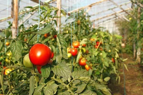 Для северного и центрального регионов должна производиться высадка рассады томатов сорта «Аляска»