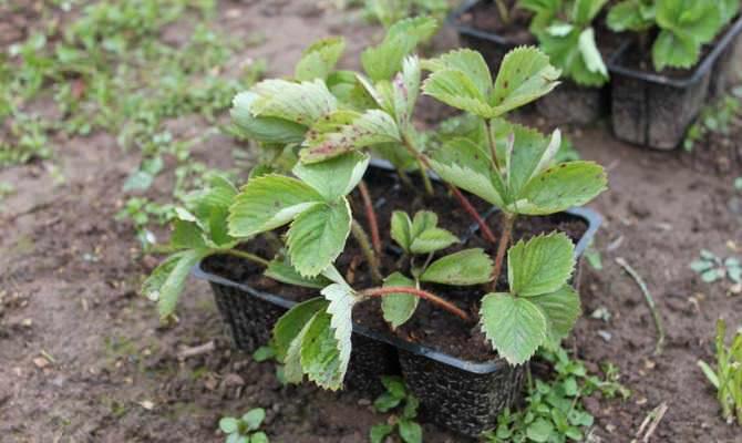 В открытый грунт рассаду клубники необходимо сажать в конце мая или июне