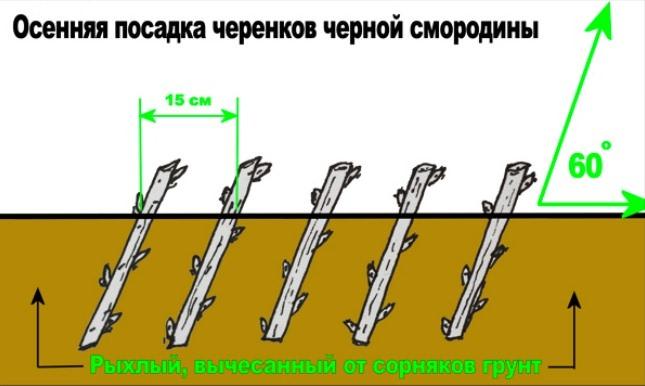 Белая смородина высаживается согласно стандартной схеме