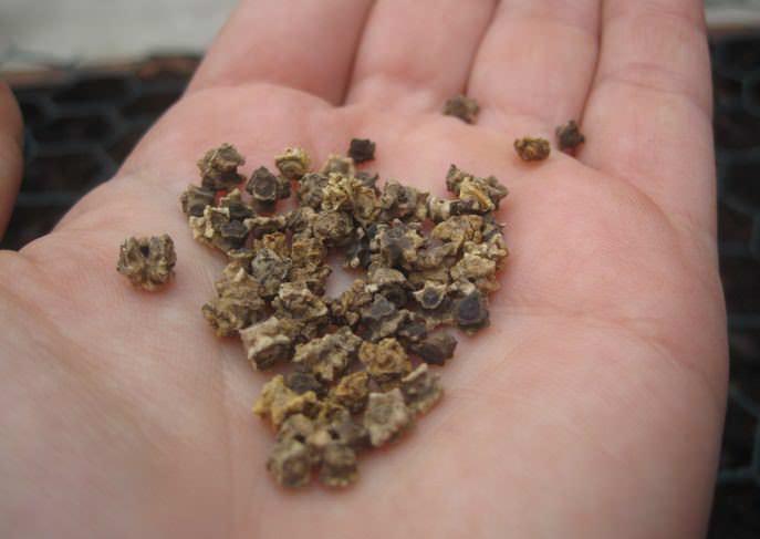Семена свёклы сохраняют всхожесть в течение четырех лет