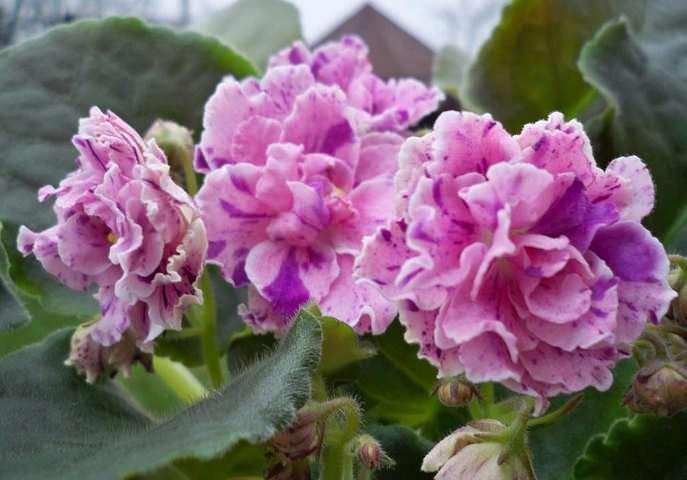Фиалка Амадеус стала настоящей любимицей отечественных цветоводов благодаря обильному и частому цветению