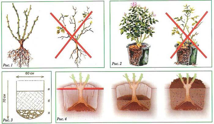 Правила посадки плетистой розы несложные и практически не отличаются от мероприятий по высаживанию саженцев розы другого вида