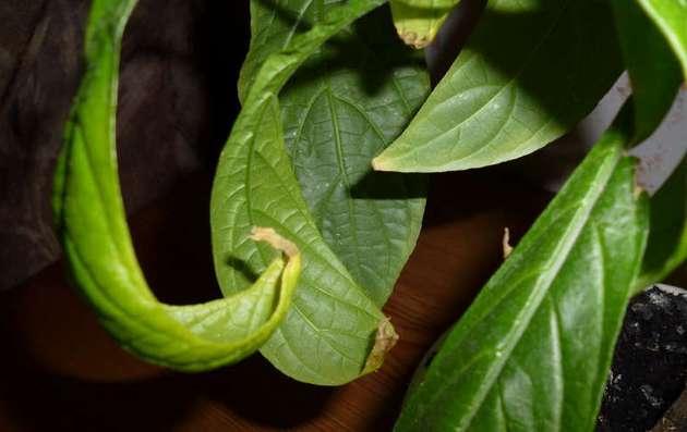 Скрученные листья пахистахиса свидетельствуют о низком температурном режиме в зимний период
