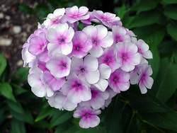 Флоксы – красивоцветущие травянистые растения из семейства Синюховые