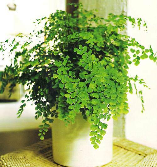 Адиантум – папоротник, который является прямым потомком реликтовых растений