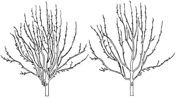 Плодовые деревья, возраст которых старше восьми-десяти лет, подвергаются прореживанию в весенний период, ещё до активных ростовых процессов в почках и листве