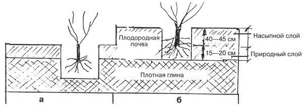 Идеальным вариантом грунта под посадку виноградника «Оригинал» является легкопрогреваемый чернозем